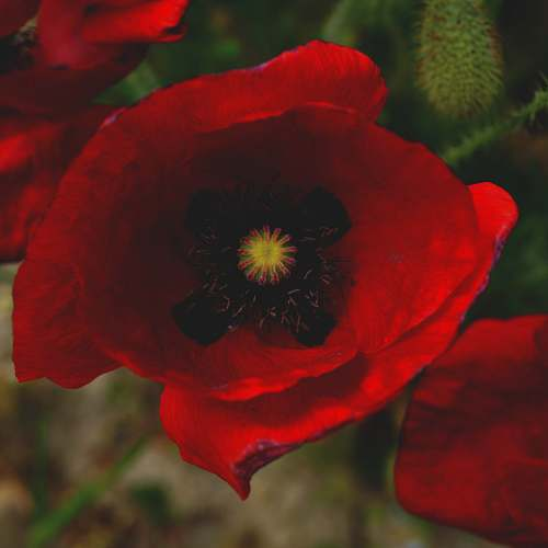 photo flower focus photography of common poppy poppy free for commercial use images