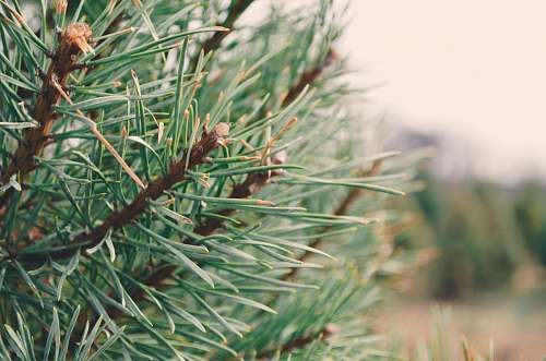photo tree green-leafed plant pine free for commercial use images