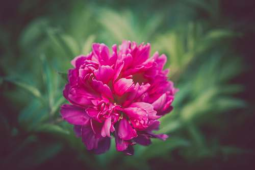 photo flower shallow focus photography of pink flower peony free for commercial use images