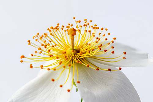 photo flower white and yellow petaled flower flora free for commercial use images
