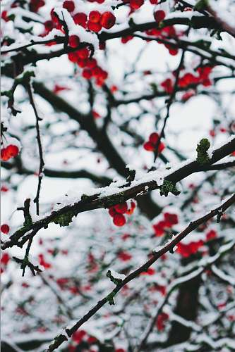 outdoors red cherries on branches ice