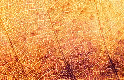 photo leaf micro photograph of leaf autumn free for commercial use images