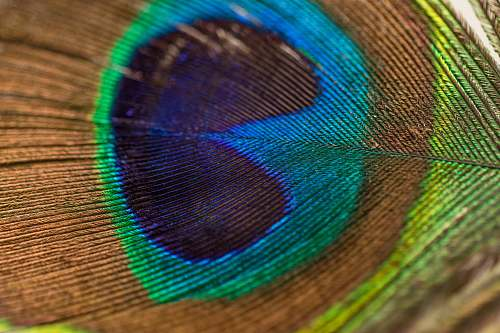 photo feather photography of peacock feather detail free for commercial use images