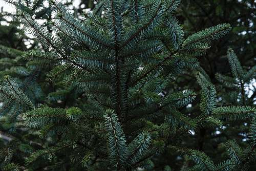 photo plant green-leafed tree spruce free for commercial use images