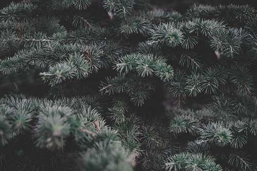grey green pine tree conifer