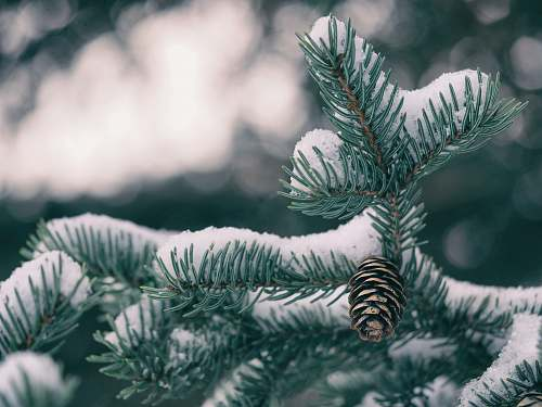 photo flora green pine tree with pine cone covered by snow winter free for commercial use images