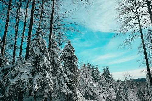 blue photo of pine trees covered by snow during daytime platak