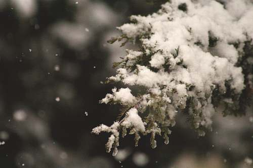 winter selective focus of snow coated pine tree holiday