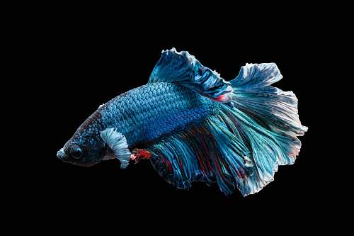 fish blue Siamese fighting fish blue