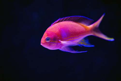 fish close up photography of red fish cairns aquarium