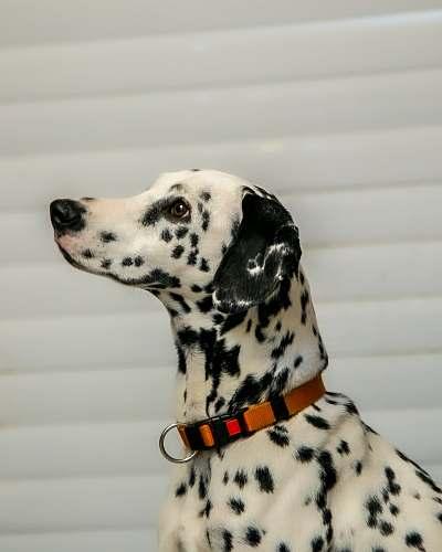 canine dalmatiandog mammal