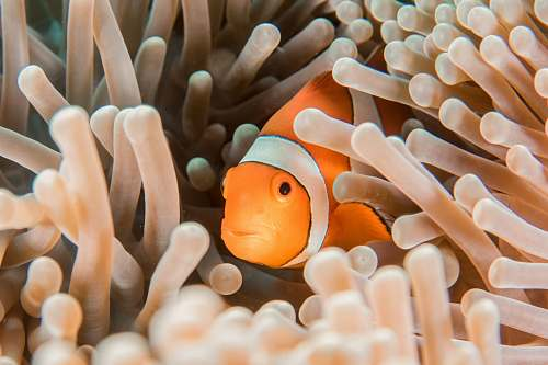 fish orange and white clownfish hiding in sea anemone nature