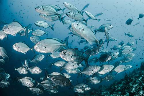 fish silver fishes underwater sea life
