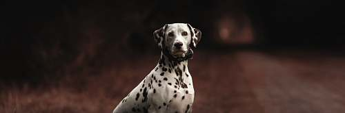 animal adult dalmatian on road canine