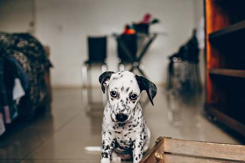 animal black and white dalmatian dog sitting on brown wooden stool canine