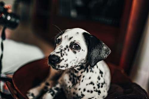 animal black and white dalmatian puppy mammal