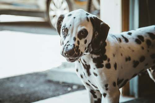 animal dalmatian puppy pet