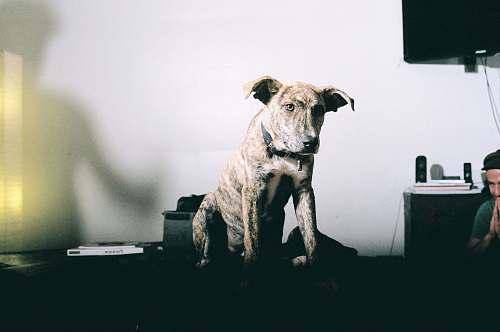 animal short-coated brindle dog canine