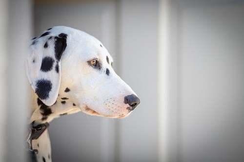 animal white and black dalmatian dog canine