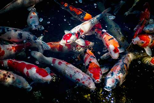 animal assorted-color fishes carp