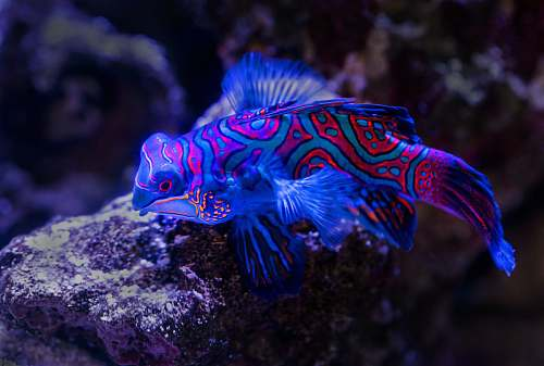animal blue and red fish on top of brown rock sea life