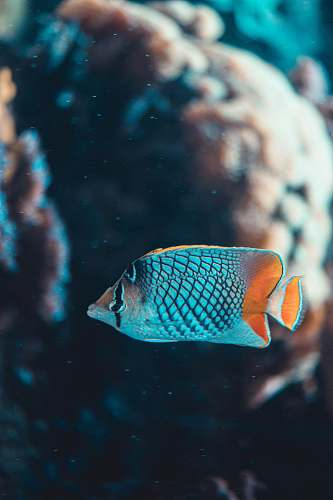 animal blue and white fish in water angelfish