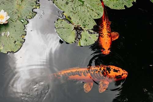 water orange and black koi fish animal