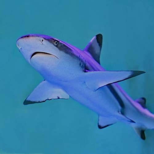animal photo of gray and white shark shark