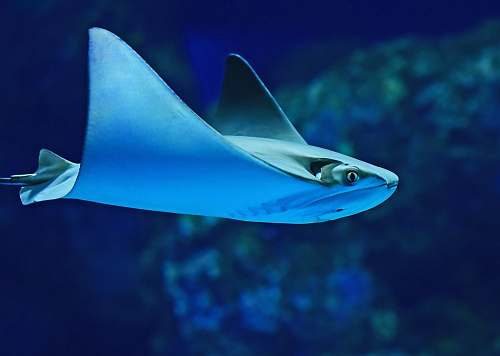 blue photography of sting ray cairns aquarium