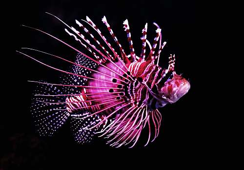 fireworks pink tiger fish night