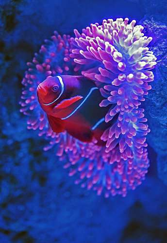 animal red fish beside pink coral sea
