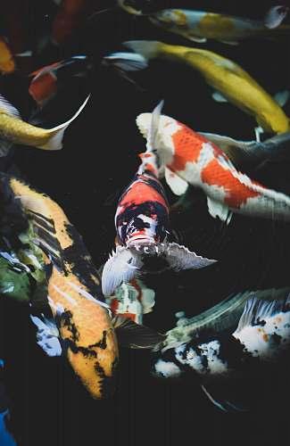 koi school of assorted-color koi fish carp