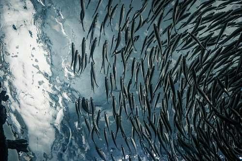 chicago school of gray fish shedd aquarium
