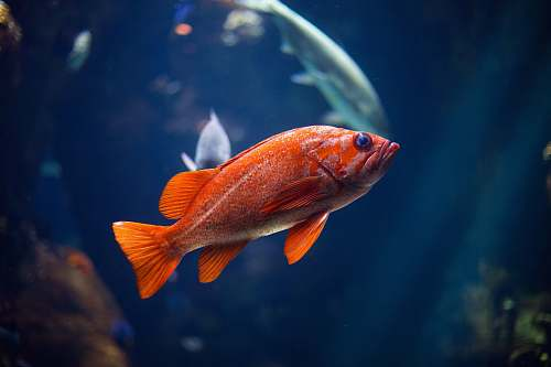 animal underwater photography of red fish san francisco