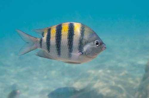 animal white and black striped fish angelfish