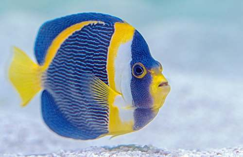 animal yellow and blue fish angelfish