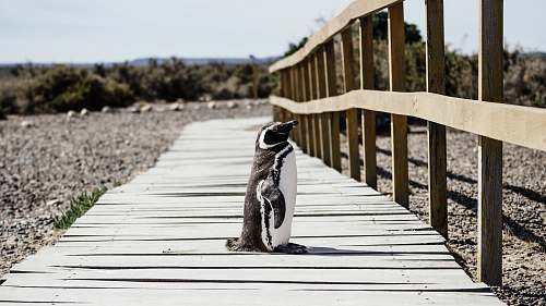 path penguin standing on brown wooden pathway near green leaf trees during daytime human