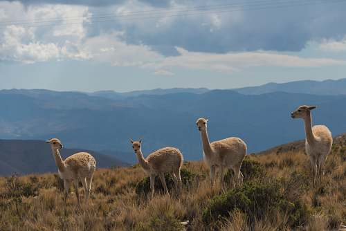 photo animal four brown camels under blue sky llama free for commercial use images