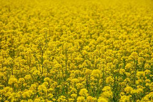 photo field yellow petaled flower field grassland free for commercial use images