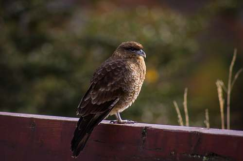 photo animal brown bird on red fence hawk free for commercial use images