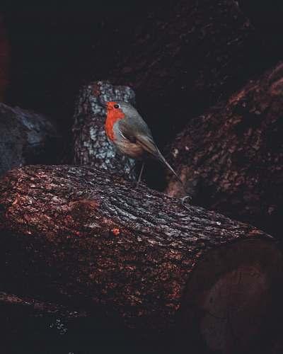 robin gray and orange bird on tree animal