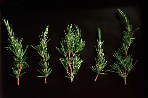 seasoning five green pine twigs tree