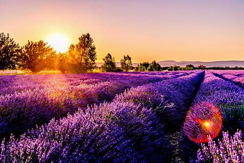photo lavender lavender field flower free for commercial use images