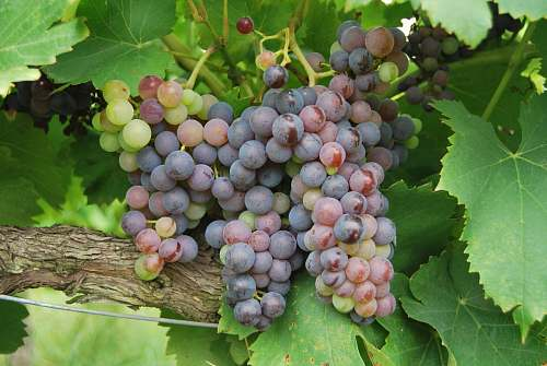 photo fruit grapes fruit surrounded by leaves flora free for commercial use images