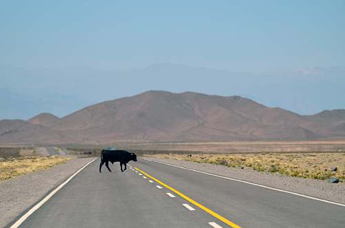 photo road black cow standing on pavement salta free for commercial use images