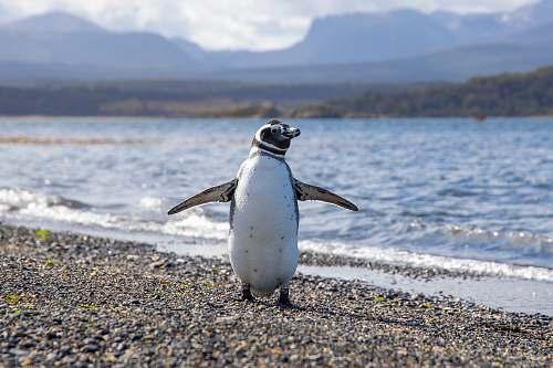 animal white and black penguin on seashore bird