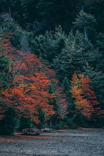 tree red-leafed tree abies