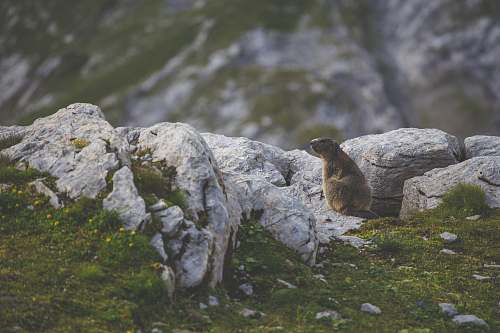 switzerland brown beaver rock