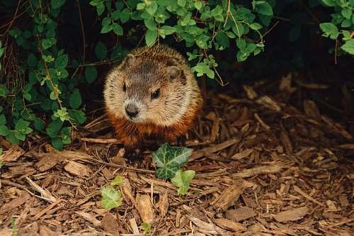 wildlife brown beaver walking near trees rodent