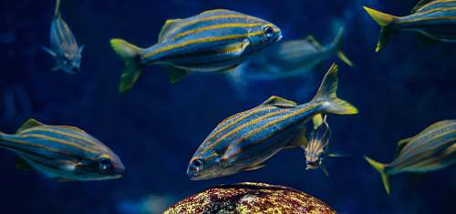 fish school of blue fish water